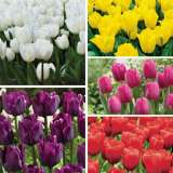 Tulip Triumph Collection