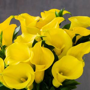 Calla Florex Gold 16 - Garden Express Australia