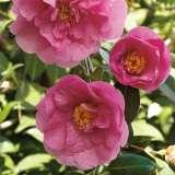 Camellia Elegant Beauty