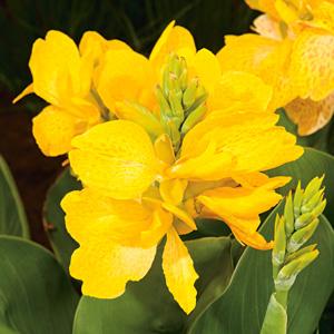 Canna Tropical Sunshine 14142359pa 15 - Garden Express Australia