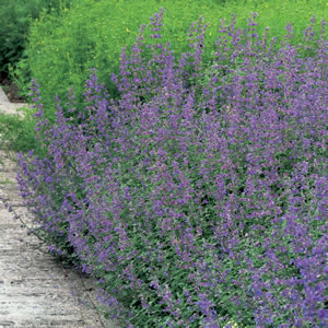 Catmint Walkers Blue