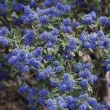 Ceanothus Pacific Blue
