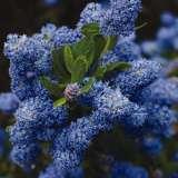 Ceanothus_Pacific_Blue_2012