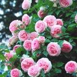 Climbing Rose – Cinderella (pbr)