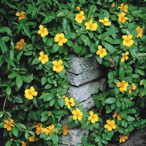 Climbing Guinea Flower 01