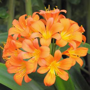 Clivia Orange 14