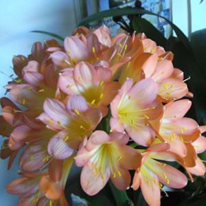 Clivia Peach 141 - Garden Express Australia