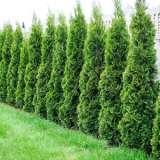 Conifer Smaragd 14