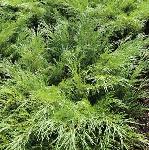 Conifer Sabina 14 - Garden Express Australia