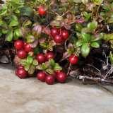 Cranberry-16