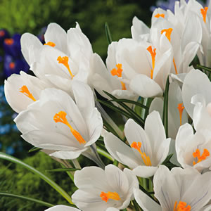 Crocus Jeanne D'arc 13