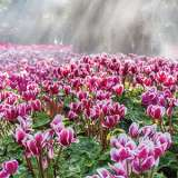 Cyclamen Goblet Pink Splash