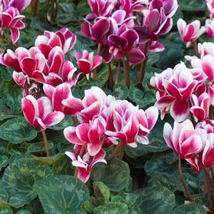 Cyclamen Pink Splash - Garden Express Australia
