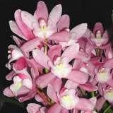 Cym_Orchid_hiroshima_sweet_eyes_pink_temptation_14
