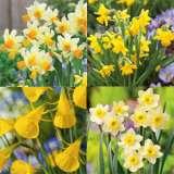 Daffodil-Mini-Collection-2017