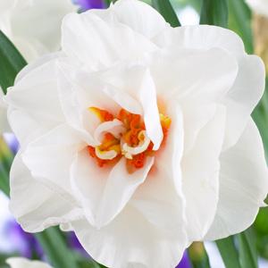 Daffodil Acropolis PKDAFACR