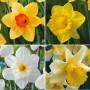 Daffodil_Garden_Collection_1_15