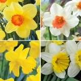 Daffodil_Garden_Collection_2_15