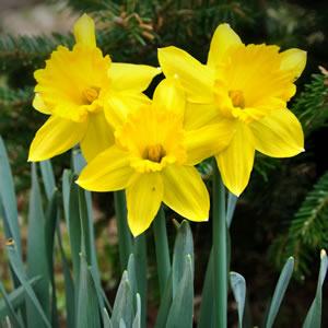 Spring Bulb Information