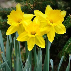 Bulbs Spring Flowering Garden Express