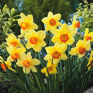 Daffodil Home Fires 13