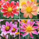 DAHLIA MINI MARVEL COLLECTION 4 BULBS