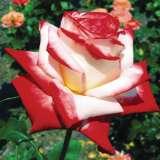 Delbard Rose Imperatrice Farah