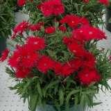 Dianthus-Supra-Red-16