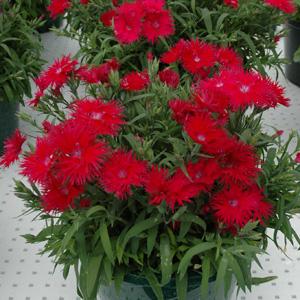 Dianthus Supra Red 16 - Garden Express Australia