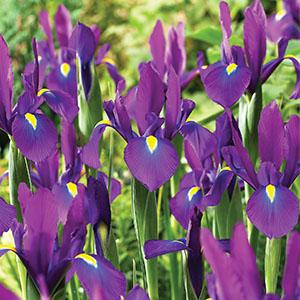 Dutch Iris Acapulco