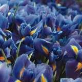 P/S DUTCH IRIS DARK BLUE