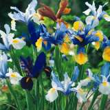 Dutch Iris Mixed 13