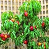 Dwarf_Fruit_Tree_Trixzie_Nectazee_closeup_15