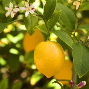 Dwarf Meyer Lemon Garden Express