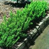 Euonymus Dwarf Hedge 01 - Garden Express Australia