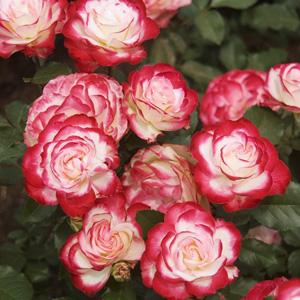 Rose Fire & Ice