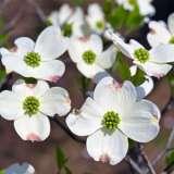 TREELING – FLOWERING DOGWOOD WHITE