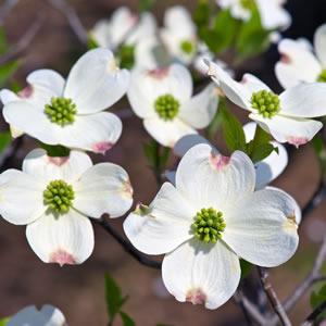 Flowering Dogwood White 14 - Garden Express Australia