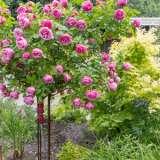 Standard Rose Fragrant Plum