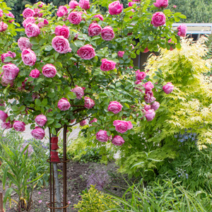 Double Bud Grafted On To Canes With Premium Root Stock. Standard Roses Are  Grafted On 85 90cm Tall Canes. Patio Roses Are Grafted Onto 55 60 Cm Tall  Canes.