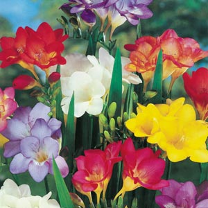 Freesia Mixed Macbird 03