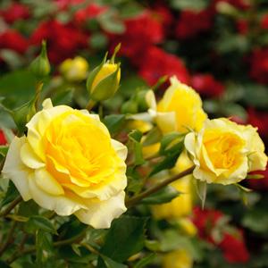 Standard Rose Friesia
