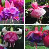 LUCKY DIP FUCHSIA COLLECTION DOUBLE-4 PLANTS