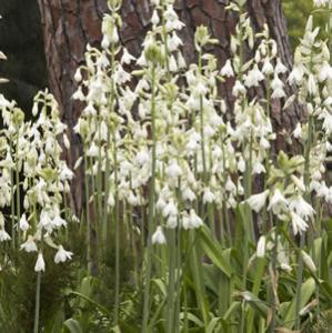 Galtonia Summer Hyacinth Buy