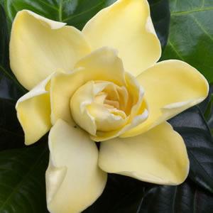 Gardenia Gold Magic2013 - Garden Express Australia