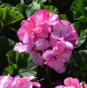 Geranium Raspberry Twizzle