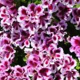 Geranium Solstice Lilac Star