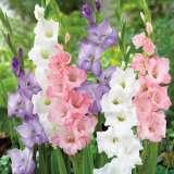 Gladioli Romantic Blend