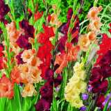 Gladioli Wildfire Mixed 2012