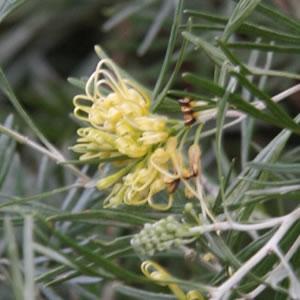 Grevillea Lemon Supreme 14